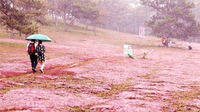 Second Lang Biang pink grass festival scheduled for late November, 2018